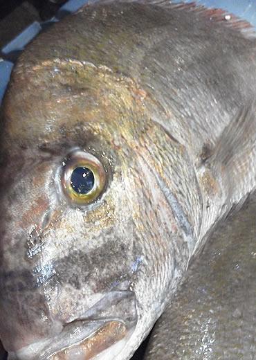 天然鯛のお頭