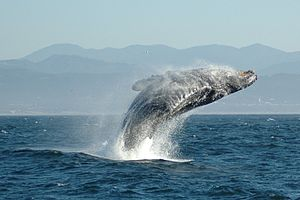 300px-Jumping_Humpback_whale