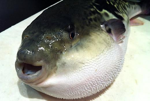 fugu-4